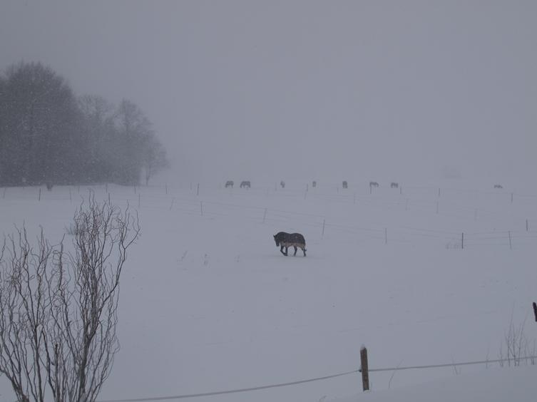 29.12.2015 bei Minus 7-10° und Schneetreiben sind die Pferde trotzdem auf der Winterweide