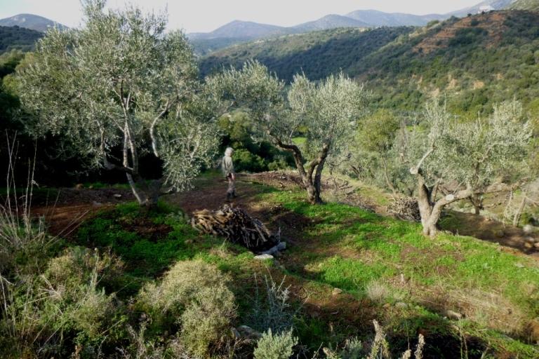 Christa sucht die verlorene Leiter :) Januar 2014 - alle Olivenbäume auf Kadowlos sind fertig geschnitten - wir sind schon gespannt auf die Olivenernte im Herbst 2014