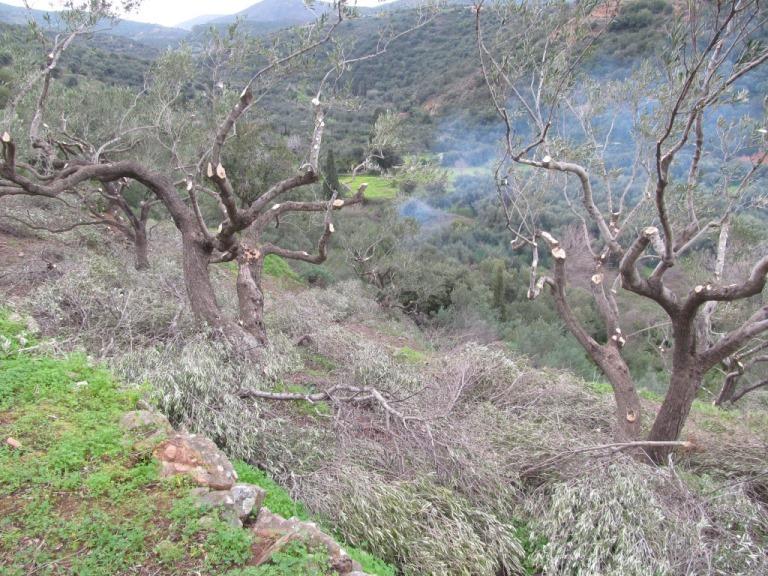Holz Holz Holz - Verjüngungsschnitt der Olivenbäume nach über 20 Jahren (sagt Alexander)