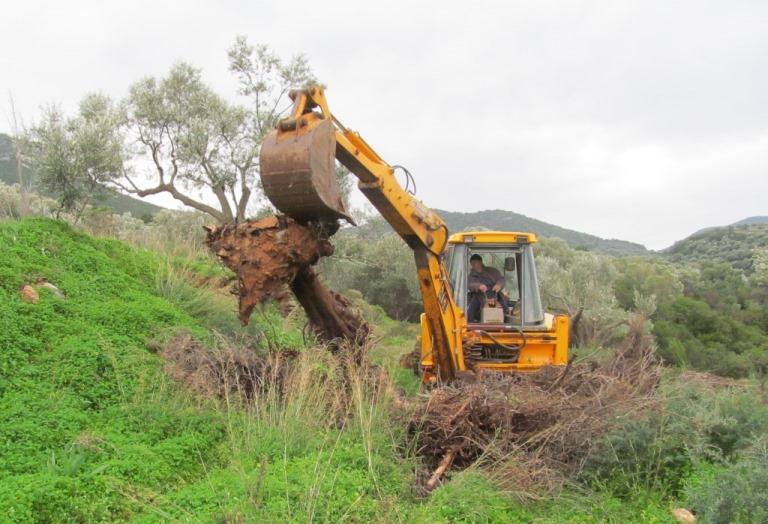 vor Jahren schon umgestürzte Zypressen werden vom Bagger geborgen