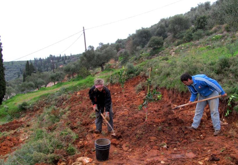 Obstbäume werden gepflanzt. Mühsam bei nassem Boden, gut für den Wurzelballen
