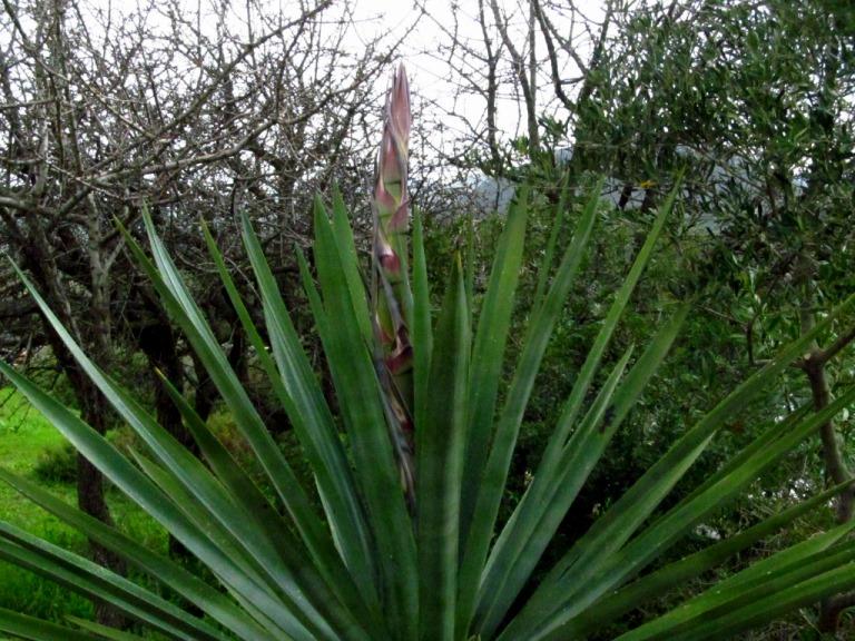 die afrikanische Agave vor unserem Quartier blüht