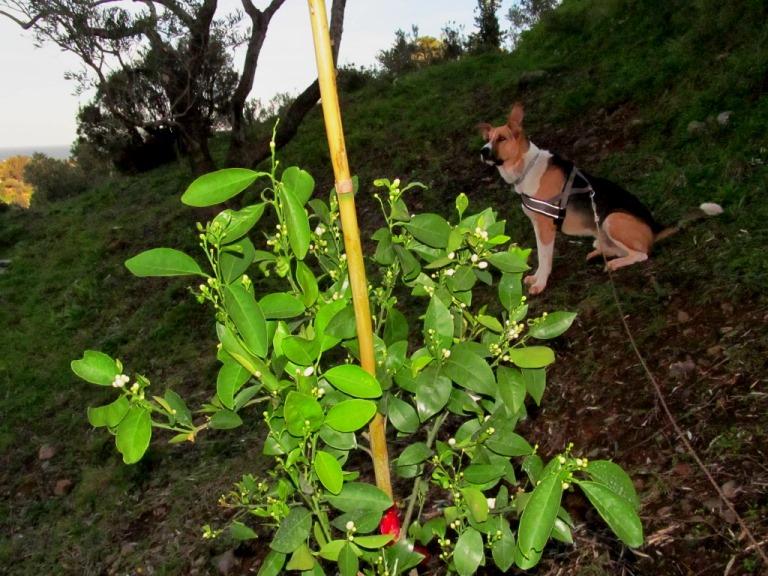 ein blühender Orangenbaum (frisch gepflanzt) auf unserem Grundstück auf der untersten Terrasse