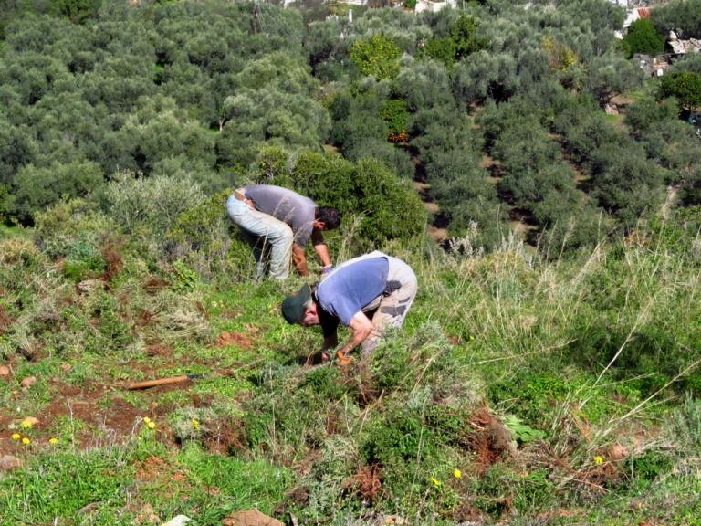 Die letzten Terrassen oberhald des Bauplatzes werden von Macchia befreit und zeigen einen sehr fruchtbaren Mutterboden