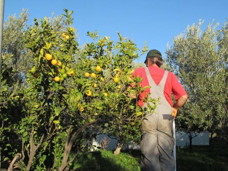 Bio Limonen aus Nachbars Garten als Souvenir für unsere Kinder, Mitarbeiter und Kunden in Deutschland