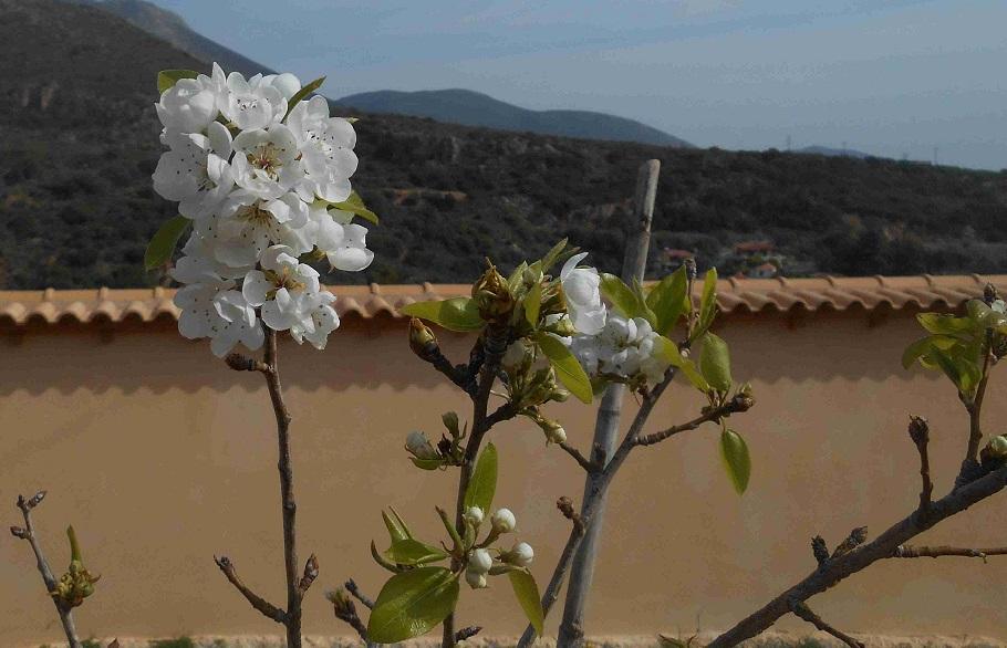 unser Birnbaum blüht © Lefteris Delastik
