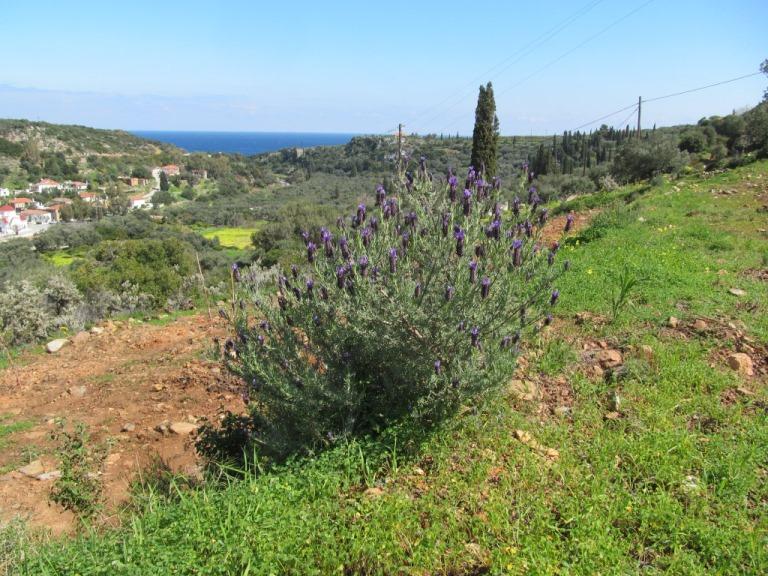 Blühender Lavendelbusch in Nähe vom Bauplatz mit Blick auf das nahe gelegene Meer