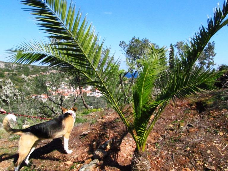 die frisch gepflanzte Palme am Ende des westlichen Teils unseres Grundstücks auf Terrasse 4