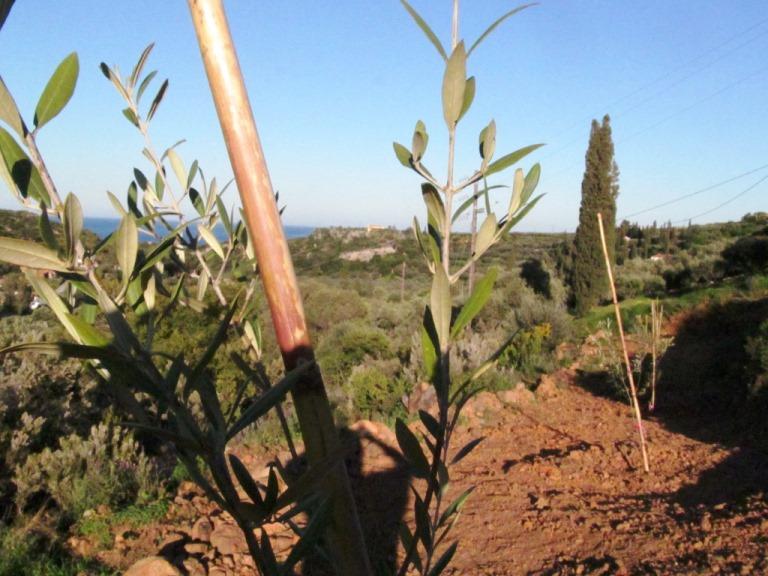 frisch gepflanzter Olivenbaum mit Blick aufs Meer