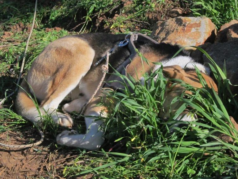 Kaputt ...... Sam schläft vor dem Steinhaufen im hohem grünen Gras