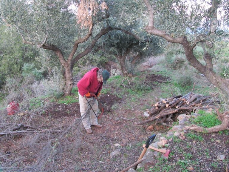 Diese Terrasse ist schon befreit von der Macchia, aus dem Baumschnitt wird Brennholz vorbereitet