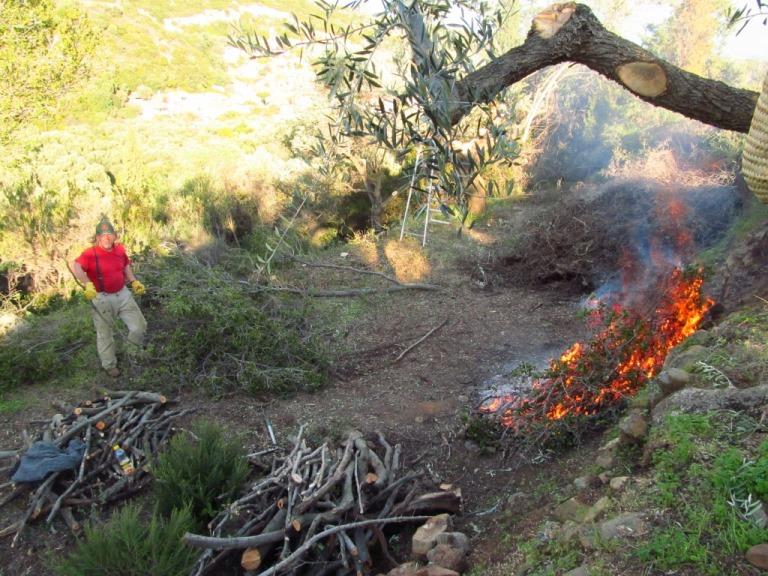 auf der vierten Terrasse - Verjüngungsschnitt für über 100 Jahre alte Olivenbäume und jede Menge Macchia geben Brennholz für lange Zeit