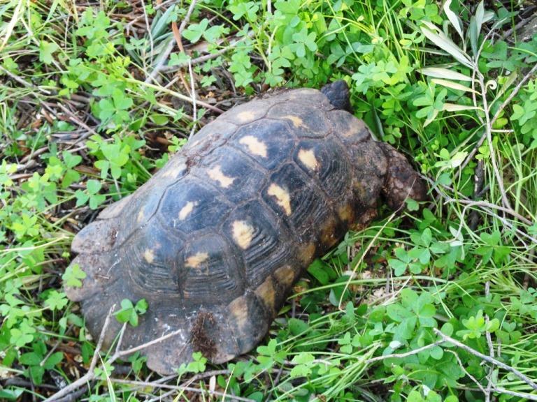 """""""Kassandra"""", sie lebt auf diesem Grundstück. Diese Land-Schildkröte dürfte min. 40 Jahre alt sein und leicht 35 cm lang"""