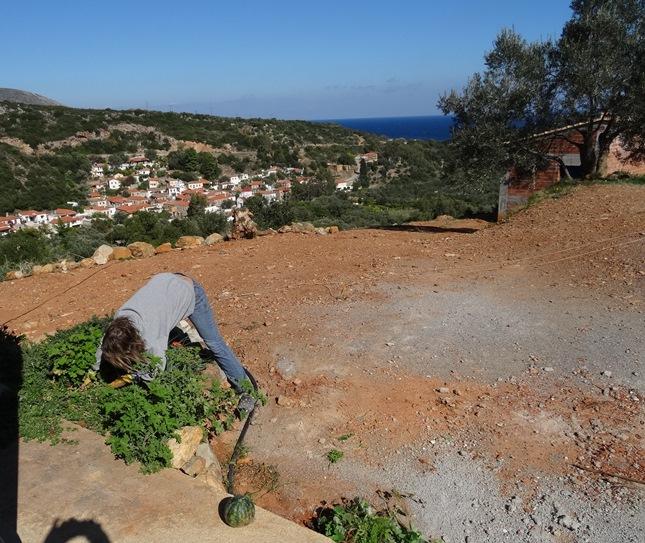 Melonen Ernte :) und das Kräuterbeet wieder richten
