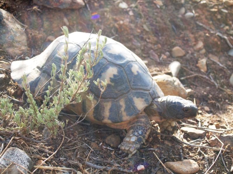 """""""Momo"""" eine der beiden auf unserem Grundstück lebenden Schilfkröten"""