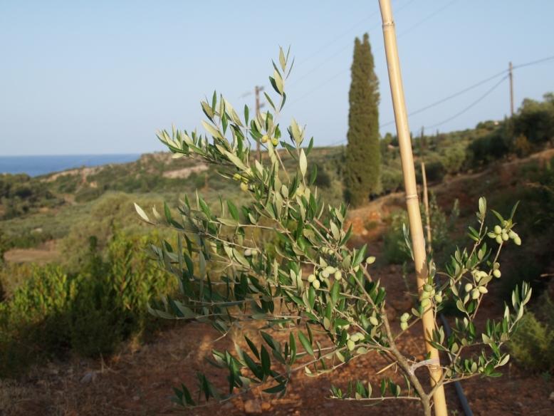 wir erfreuen uns über das enorme Wachstum der neu gepflanzten Olivenbäume