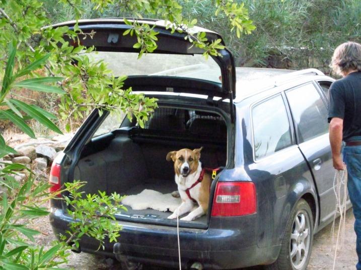 Sam, ein Hund der sehr gerne Auto fährt
