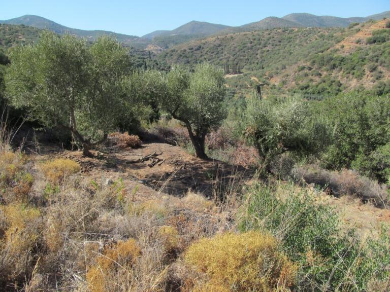 Blick in unseren alten Oliven-Garten. Olivenbäume werden über 1000 Jahre alt !! Was die wohl alles zu erzählen haben ??