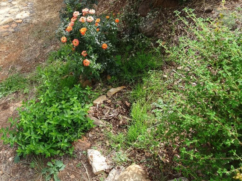 Minze und Rose wachsen und blühen um die Wette (Minzenblüten hat Silke entfernt)