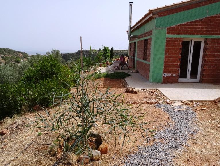 Der Mimosen-Baum wächst als wär es sein Lieblingsplatz beim Haus