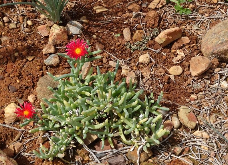 die Mittagsblume oder Delosperma hispida wächst direkt vor dem Haus