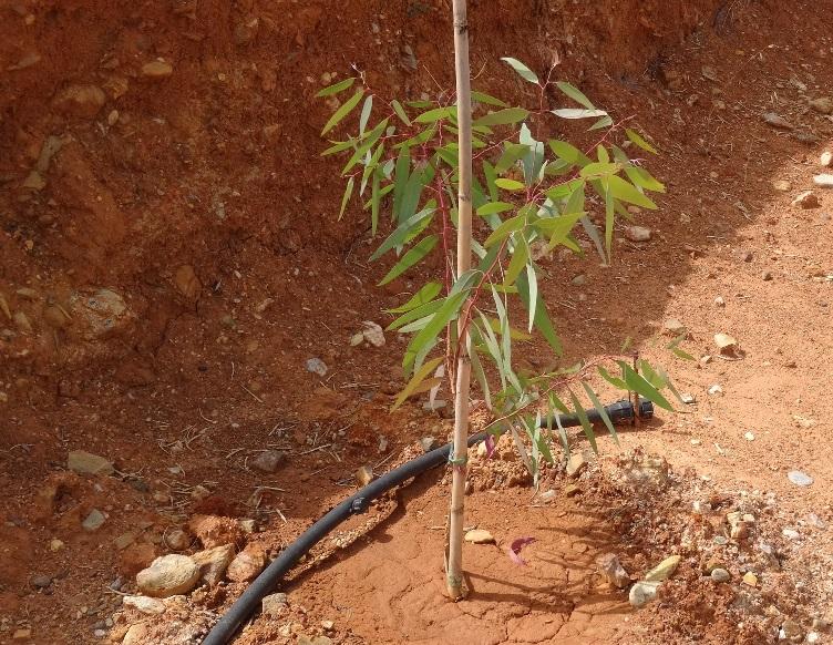 der einzige Eukalyptus Baum auf der neu entstandenen Terrasse oberhalb des Hauses