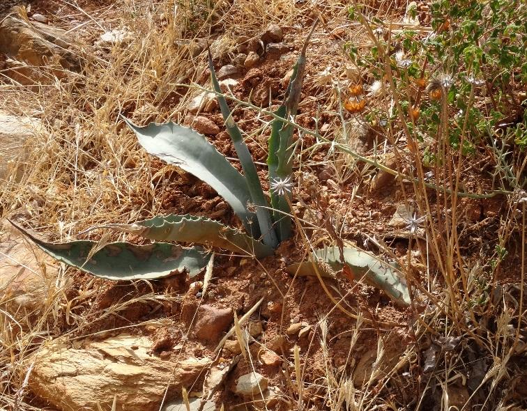 eine unserer Agaven - vom Meer mini klein mitgenommen, eingesetzt und wächst