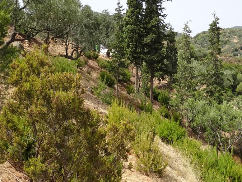 der Blick in den Zauberwald mit Zypressen frisch kommenden Baumheiden (der weise Fleck ist unser Wohnwagen)