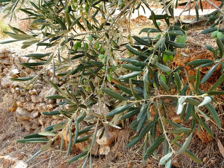 typisch griechisches Stil Leben - Olivenbaum und Steinmauer