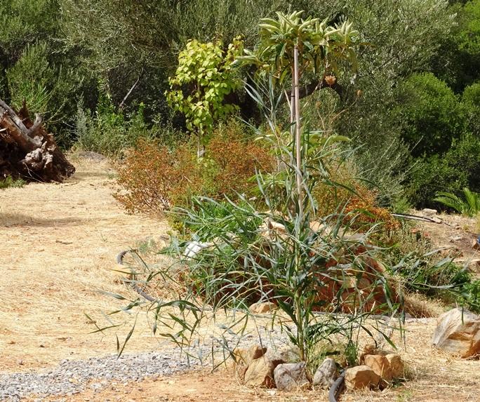 in der Reihe, sie geben alles: Mimosen Baum, dahiner eine Mispel, ein Aprikosen Baum und hinten eine Olive