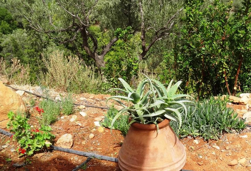 vor der Terrassee die Aloe Vera, Geranien, Baumerdbeeren und dahinter unsere Oliven