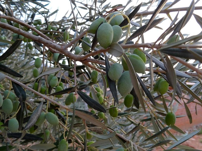 hier hängt nicht nur Arbeit für Oktober/November sonder wohl wieder das hervorragende Olivenöl 2015 für uns