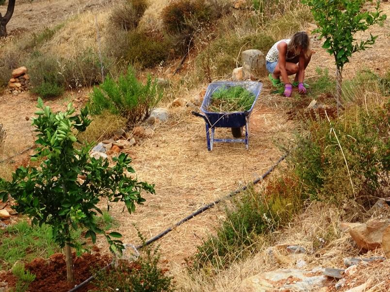 Auf den Obstbaum Terrassen. An den Bäumen den Boden von Unkraut befreien und für Wasseraufnahme bearbeiten