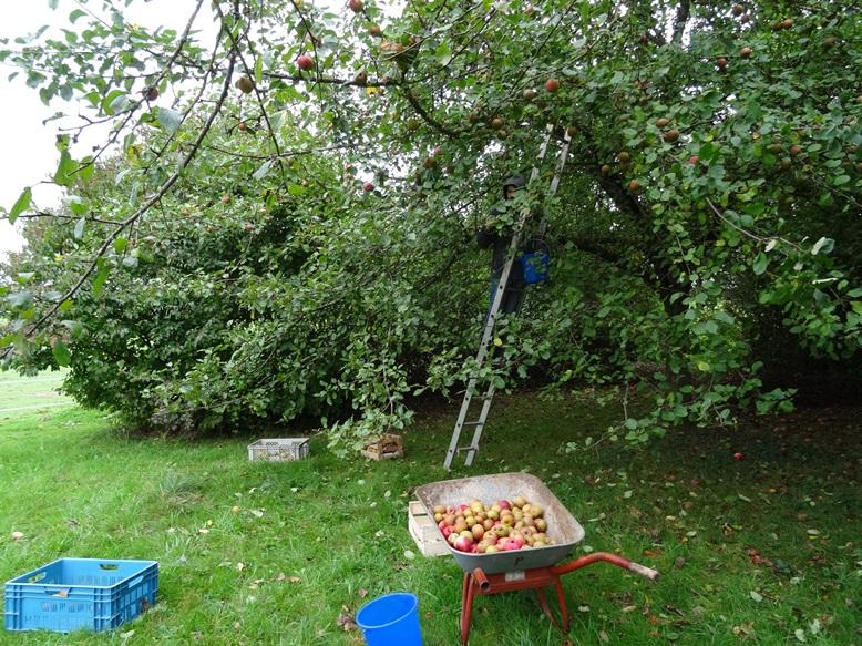 damit wir in schwung und Übung bleiben, heute ist Apfel und Birnen Ernte am Pfeifferhof Garten