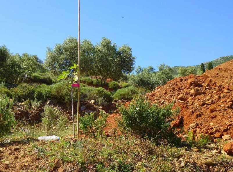 der einsame Feigenbaum auf der Baustelle (Foto: Christa & Wolfgang)