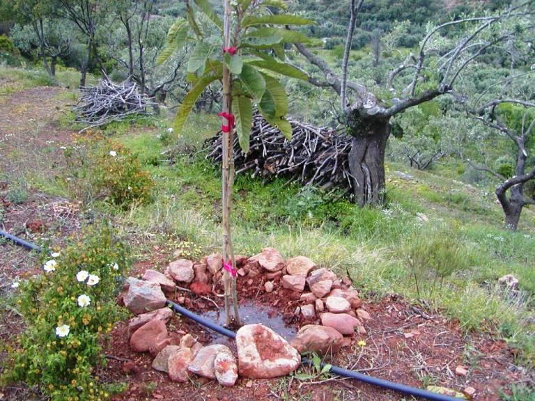 der letzte Baum vor unserer Abreise, Bewässerung läuft, der Hochsommer kann kommen (Foto:Lefteris Delastik)