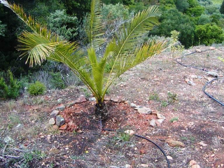 Bewässerung der Palme läuft (Foto: Lefteris Delastik)