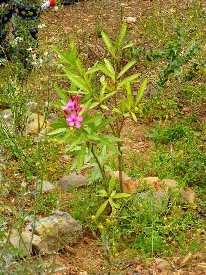 die ersten Blüten der frisch gesetzten Oleander
