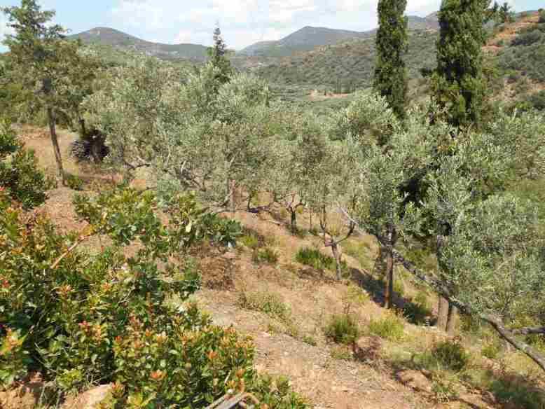 Blick von der Wohnzimmerterrasse auf die Olivenbäume