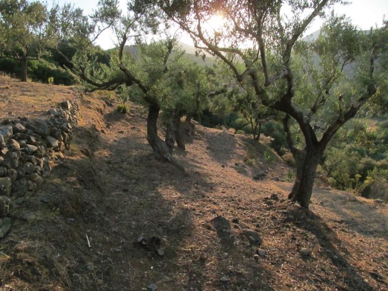 Olivenbäume auf den gereinigten Terrassen in der Abendsonne