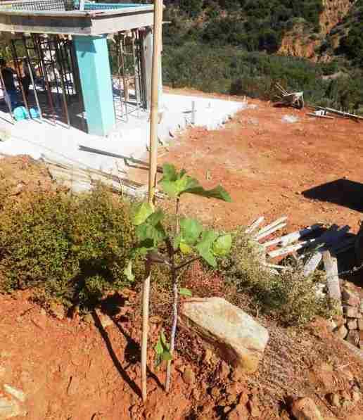 unser einsamer kleiner Feigenbaum. Er steht bereits schon und ziert später den Zugfahrtsbereich zum Hauseingang