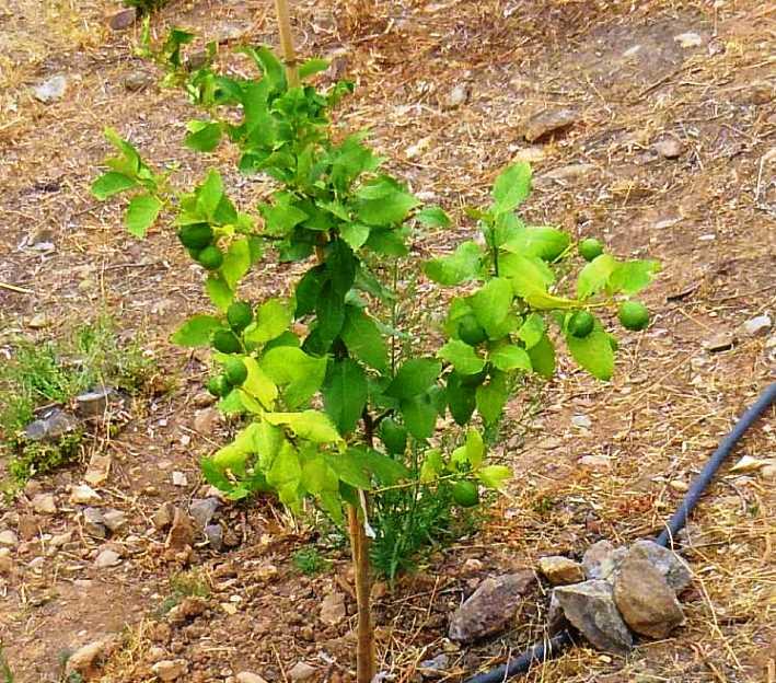 einer der Zitronenbäume bringt uns bereits dieses Jahr die ersten biologischen Früchte - Danke an unsere Freunde Christa & Wolfgang für diese Fotos