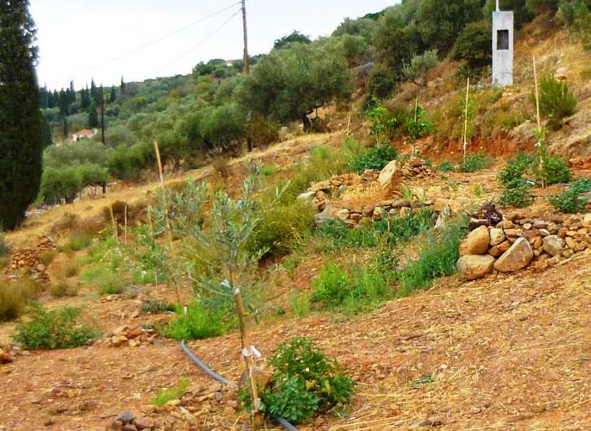 die neuen Olivenbäume wachsen sehr fleißig, auch das Unkraut. Im Hintergrund die neue Stromsäule für den baldigen Anschluss