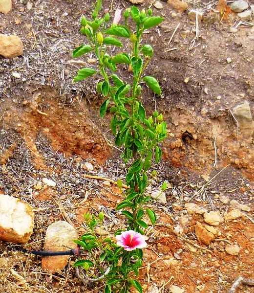 bis wir kommen sind alle Blüten geöffnet - einer der Hibiskus Sträucher - Danke an unsere Freunde Christa & Wolfgang für diese Fotos