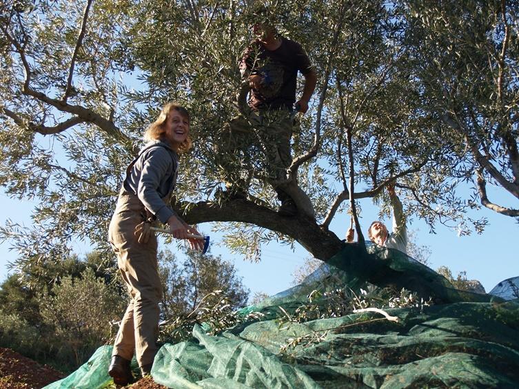 strahlender Sonnenschein, T-shirt Wetter und los geht die Ernte der Olivenbäume