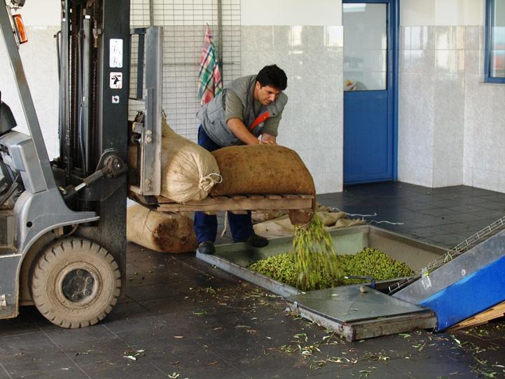 am 18.11. - die Oliven werden gereinigt bevor sie kalt gepresst werden