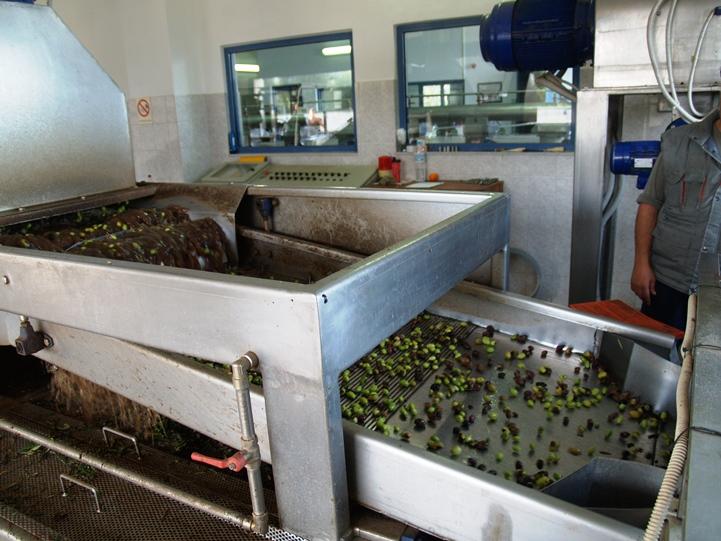 letzter Reinigungsgang bevor die Oliven gemahlen werden