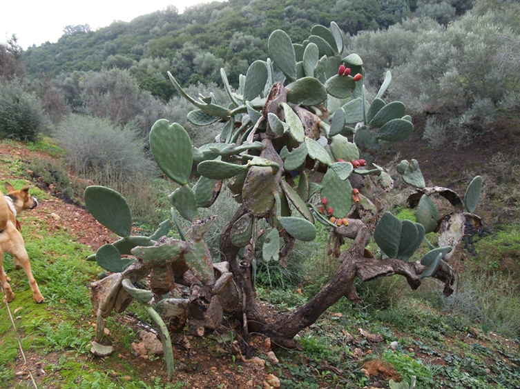 ein seltenes und uraltes Exemplar des Opuntia (Ohren Kaktus)