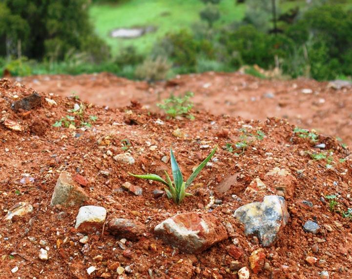 eine der neu gepflanzten Agaven entfaltet sich prima