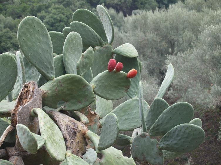 Die Früchte des Opuntia schmecken lecker und geben eine gute Marmelade